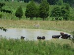 Cows in Pond 001_med